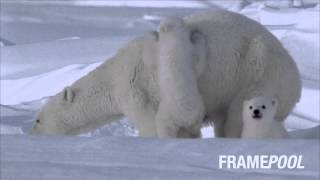 Happy with the Coldness / Polar Bear / Animal Family (HD stock video)