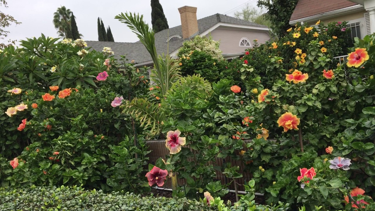 Hibiscus - Flowers That You Can Easily Grow In Your Backyard