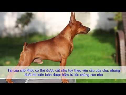 Tìm hiểu về loài chó Phốc Hươu Con , bạn sẽ thích loài chó đẹp nhỏ bé này