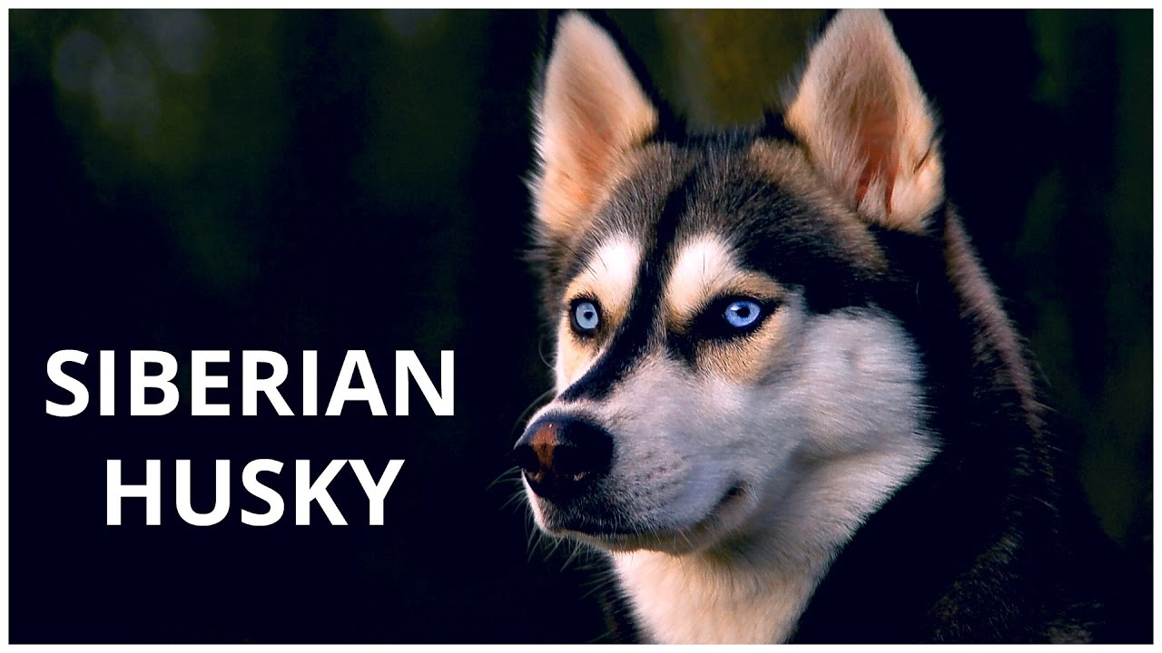 Siberian Husky Dogs Breed Pets Dogs Profile Youtube