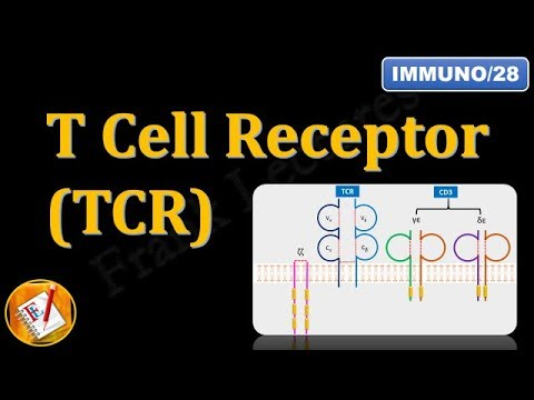 T Cell Receptor(TCR) and CD3 (FL-Immuno/28)