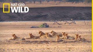 Najwięksi myśliwi Afryki - oglądaj na Nat Geo Wild