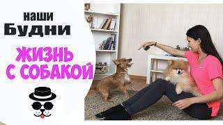 ВЛОГ: Взяла собаку на передержку.Шпиц Гетсби и Одри