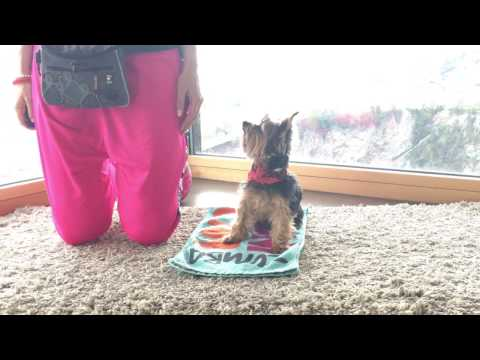 Yorkshire Terrier - Dancing Dog and Trick Dog Song: Shakira, DejaVu