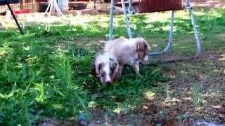 Lazy D Ranch Australian Shepherds puppies at play