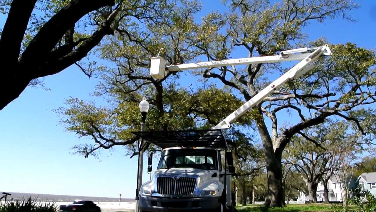 Pruning Several Live Oak Trees With Our Bucket Truck Pole Saw And Chain In Biloxi MS