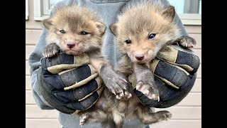 Baby Fox Frenzy | Too Cute For Words!