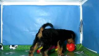 Airedale Terrier Hembra Cov Ref:146 7