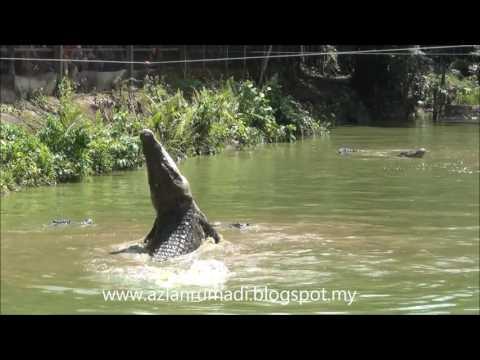 MENARIK DI JONG CROCODILE FARM SIBURAN KUCHING SARAWAK - SEPTEMBER 2016