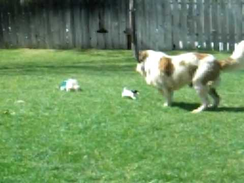 saint bernard scared of weiner pups