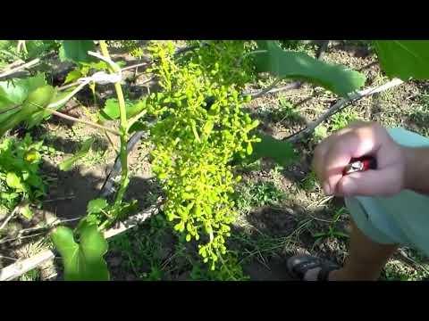 Прореживание виноградных гроздей