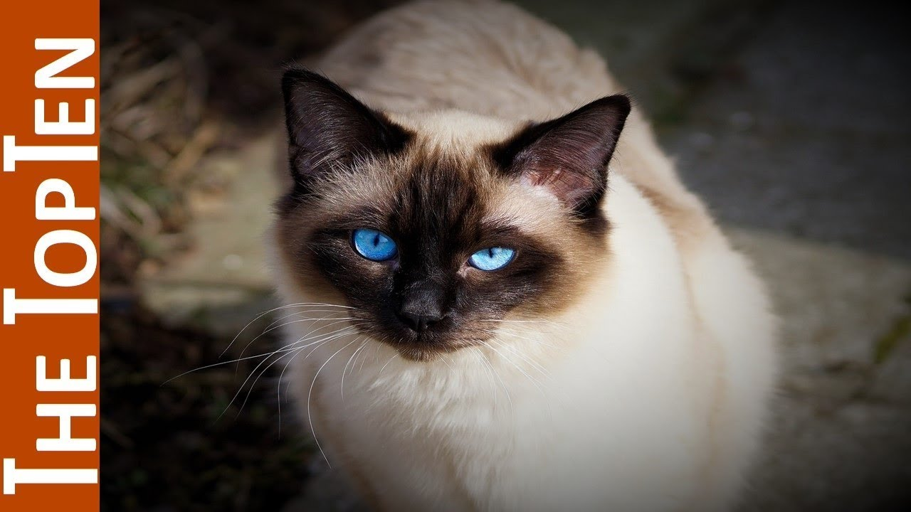 The Top Ten Most Beautiful Cat Breeds in The World - YouTube