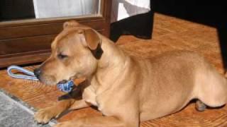 Jacky - Staffordshire Bull Terrier