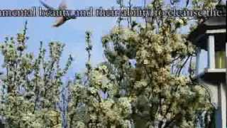Flowering Pear Tree  Top Video