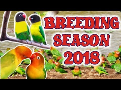 Black Mask Lovebirds Aviary  Love Birds Colony Breeding Season 2018
