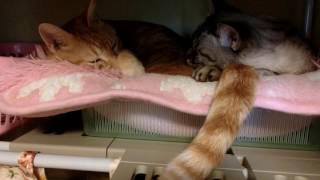 シッポを枕に眠る猫、シッポの持ち主もまぶたを閉じて