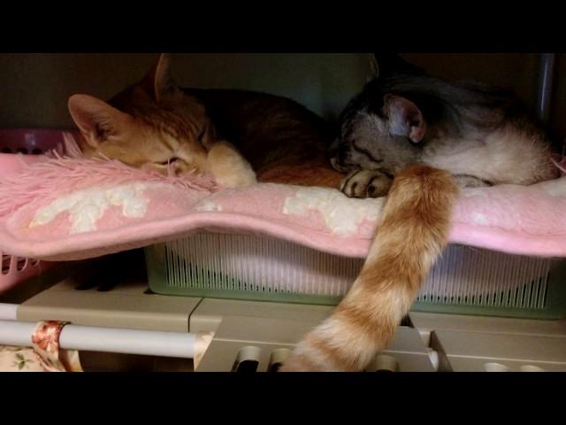 しっぽ枕する猫