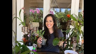 How to Mount Phalaenopsis Orchids on Trees, Orchid Care, Orchid Diva