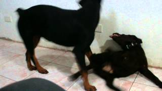 How To Effectively Stop A Puppy From Play Biting -the Rottweiler Way