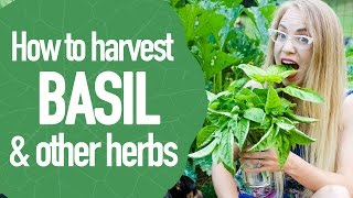 How to Harvest and Prune Herbs like Basil and Oregano, so They Grow Twice as Big!