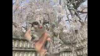 フクロモモンガの写真動画.