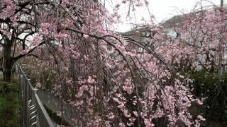 花冷え お花見散歩 満開の桜 杉並区本天沼・妙正寺川.