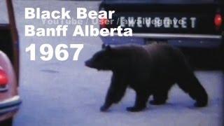 Banff Alberta Black Bear 1967