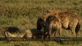 Female hyenas show their dominant nature