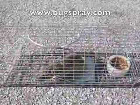 Rat Trap with a live Rat