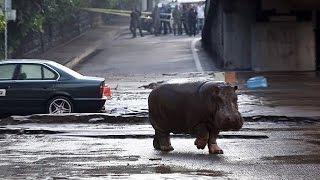 Löwen und Tiger nach Fluten aus Zoo Tiflis ausgebrochen
