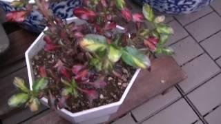 私のベランダで育てている植物を紹介します。