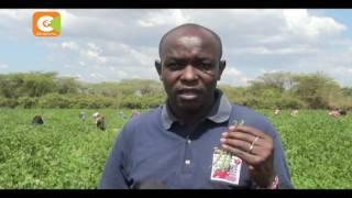 SMART FARM : Kimeli embraced French bean farming in Baringo