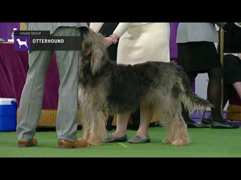 Otterhounds | Breed Judging 2019