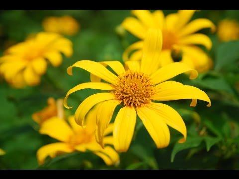 Hoa dã quỳ - Một thi phẩm đầy ám ảnh