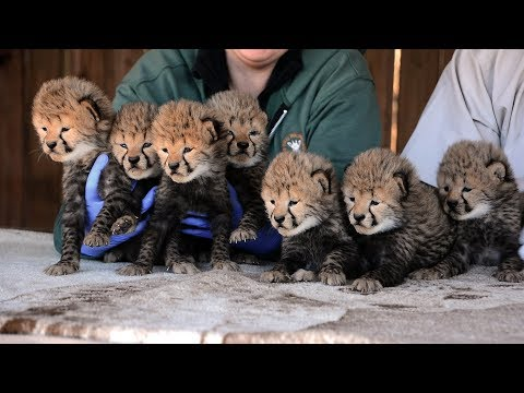 Amanda McGraw - Zoo celebrates births of SEVEN Cheetah cubs!