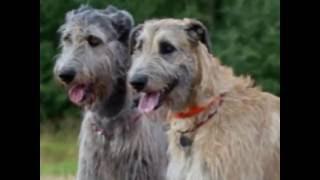 топ 10 cамых крупных пород собак