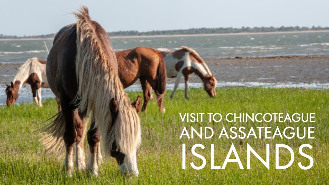 Chincoteague Island: A guide to seeing the Chincoteague