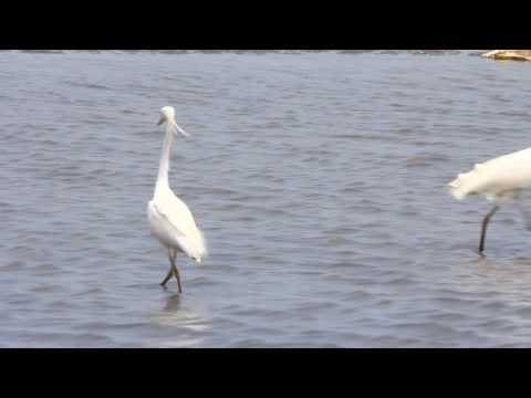 唐白鷺捕魚, The Chinese egret fishing
