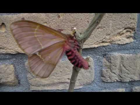 Very cute pink moth: Paradirphia semirosea (Saturniidae)