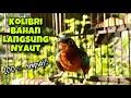 Kolibri Wulung Gacor Untuk Memikat Kowul Bahan Agar Nyaut Dan Gacor  Mp3 - Mp4 Download