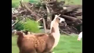 Niebezpieczne zwierzęta atakują - zbiór filmów