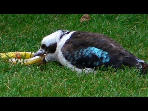 Kookaburra Hunting and Flying Display at Paradise Park - Awesome Bird