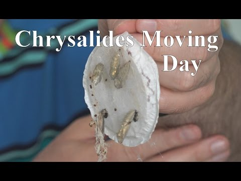 Moving the Chrysalides- Live Butterfly Garden | RainyDayDreamers in 4k CC
