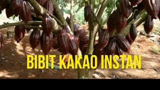 Download Lagu TUTORIAL MEMBUAT BIBIT KAKAO CEPAT BERBUAH, TIDAK SAMPAI 1 TAHUN BISA BERBUAH mp3