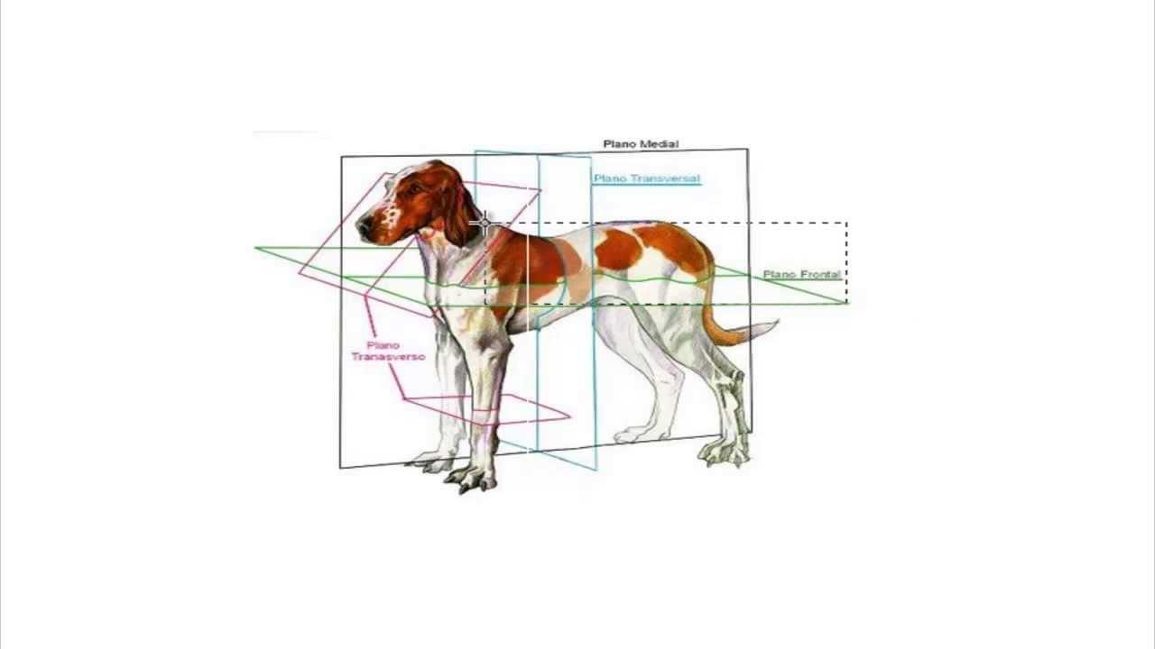 Anatomía Animal - Clase 02 Introducción - YouTube