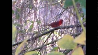 "The Cardinal Song ( Wild Cardinal singing) ""Good sound"" 2012"