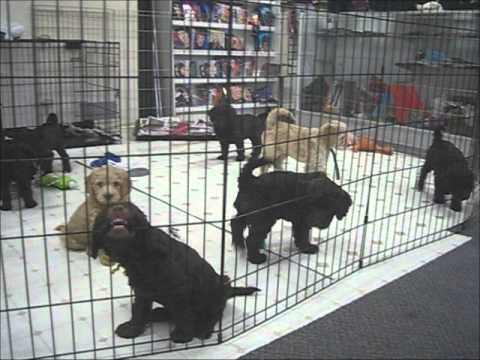 Midwest Labradoodle Puppies At Kenosha Magic 7 weeks old