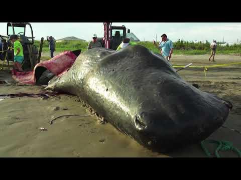 Whale on the beach in Grand Isle, LA - August 2017