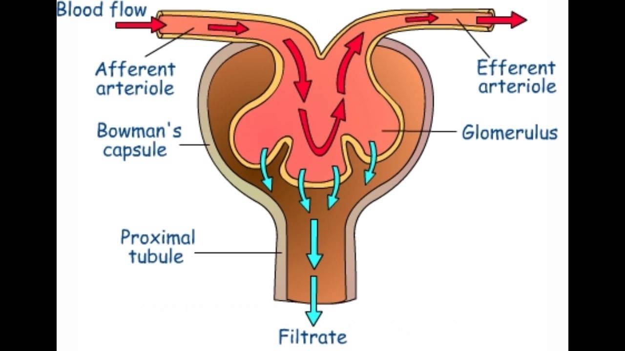 glomerular filtration urine formation  [ 1280 x 720 Pixel ]