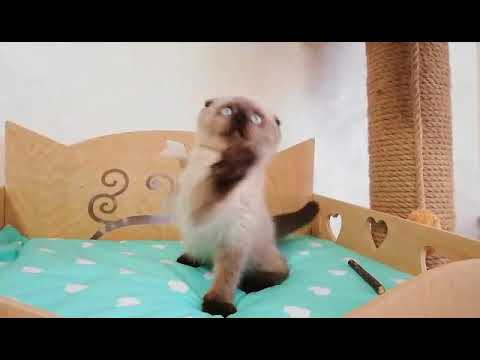 Blue point Scottish fold kitten with brown shade for sale